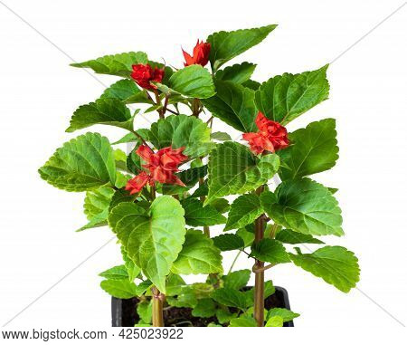 Red Salvia  Plant In Recyclable Plastic Pot Isolated On White. Ready For Planting