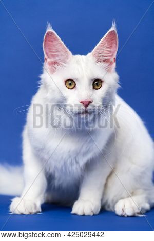 Longhair Cat Breed American Coon Cat. Portrait Of White Color Female Maine Coon Cat Looking At Camer