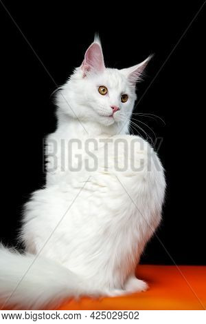 Portrait Of Longhair Cat Breed Maine Coon Cat White Color. Beautiful Animal Sitting On Orange And Bl