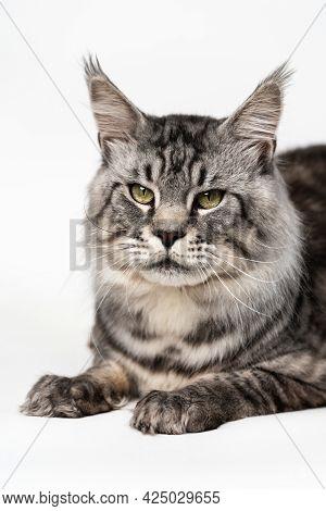 Portrait Of Fluffy Mackerel Tabby Male American Longhair Cat Looking At Camera, Lying On White Backg