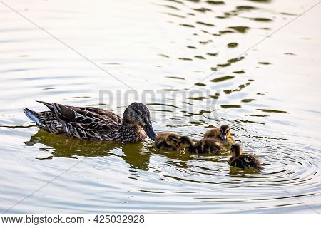 Female Mallard Duck (anas Platyrhynchos) With Her Ducklings In The Lake