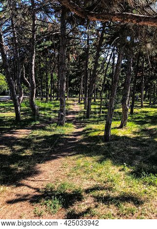 Conifer Park. Park With Pine Trees. A Park With Spruces.
