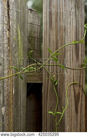 Beautiful, Graceful Vines Of A Jasmine Plant Intertwined And Growing On Old Wooden Fence.