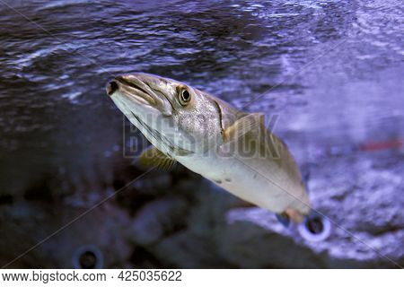 Big Barracuda Predatory Fish In Marine Aquarium.