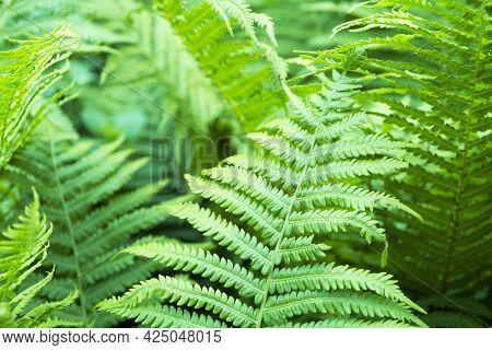 Ferns Leaves Green Foliage Natural Floral Fern Background. Close Up Of A Green Fern Leaf.