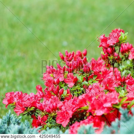 Blooming Red Azalea Flowers And Buds On A Green Background In A Spring Garden
