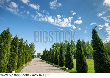 Alley With Thujas In The Public Park Against The Background Of A Blue Sky. Copy Space.