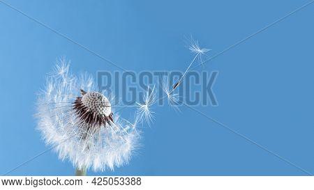Macro Dandelion Blowing Away, Blue Sky Background. Freedom To Wish. Seed Macro Closeup. Goodbye Summ