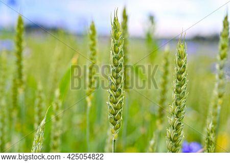 Cornflowers In A Farmers Field With Wheate