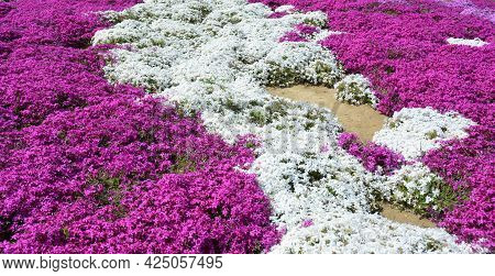 Beautiful Pink And White Phlox Subulata, Or Creeping Phlox Spring Flowers Blooming In The Garden. Cr