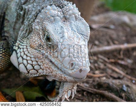 Green Iguana (iguana Iguana) Large Herbivorous Lizard Looking At The Camera