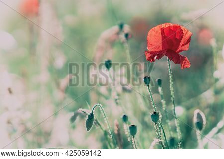 Beautiful Red Poppy Flower Close-up With Control Light Of The Golden Hour Sunset Shining Through Pet