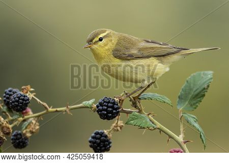 A Selective Focus Shot Of A Small Canary Sitting On The Branch Of A Berry Tree