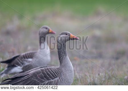Close up shot of Greylag goose birds