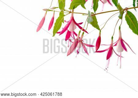 White And Pink Flowers Of Blooming Fuchsia Houseplant On White Backdrop