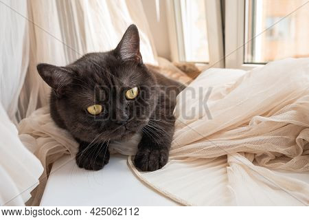 Funny Cat Helps Hang Tulle Curtains On The Window