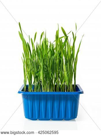 Potted Organic Oat Sprouts Isolated On White Background. Fresh Green Grass For Indoor Cats Grows In