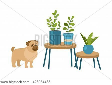Houseplants On Interior Tables And Dog. Pug Looks At Exotic Flowers In Pots. Scandinavian Blue Flowe