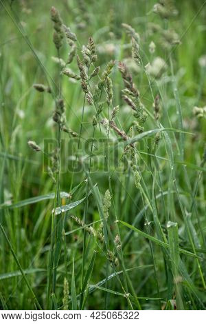 Blades Of Grass With Seeds On The Stem Among Green Grass Iin Field Summer Background