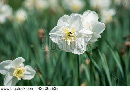 Beautiful White Daffodil In Green Grass, Spring Floral Background