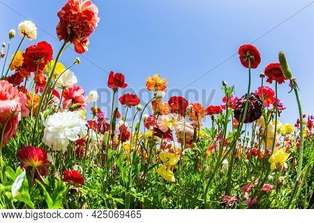 Sea of flowers. Spring in Israel. Wonderful trip for spring beauty. Bright beautiful multi-colored garden buttercups grow in a kibbutz field
