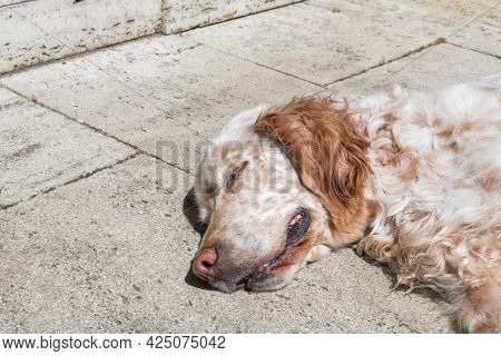 English Setter Dog In The Blazing Sun Laying On A Terrace