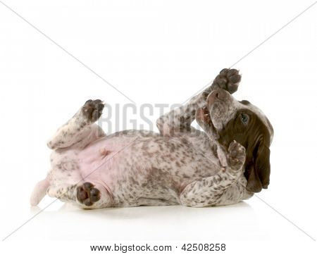 playful puppy - german short haired pointer puppy laying on back isolated on white background - 5 weeks old poster
