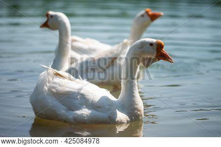 Three White Goose With Orange Beaks Swim In A Clear Pond. Wild Goose. Farm Animals. Lake.