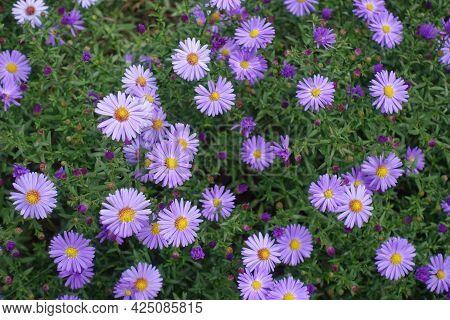 Florescence Of Violet Michaelmas Daisies In September