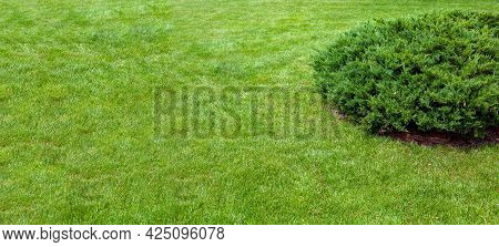 Evergreen Thuja Bush Growing On Grassy Backyard Lawn, Landscaping With Lawn And Plant With Copy Spac