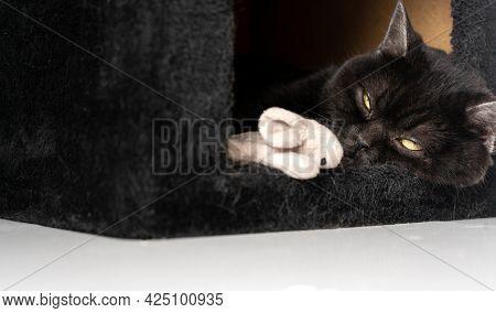 Black Scottish Cat Sleep In His Plush House , Cat Portrait , Close-up
