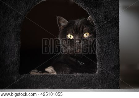 Cute Scottish Cat Lies In His Plush House And Look In The Camera, Cat Portrait , Close-up