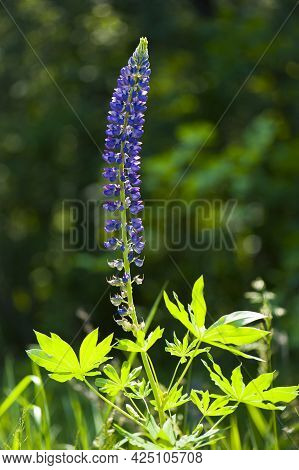 Blue Lupine Flower. Delicate And Beautiful Forest Flowers Close-up. A Field Of Lupines. Purple Lupin