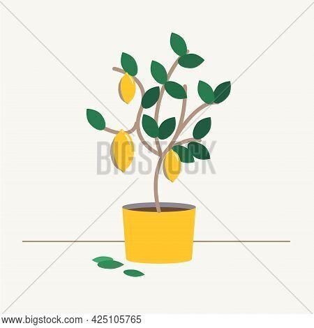 Lemon Tree In A Pot. Harvest 3 Lemons. Spanish Lemon Tree Grows In A Yellow Pot