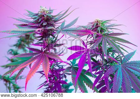 Cannabis Flowering Plants In Purple Neon Color. Fresh New Look On Marijuana Agricultural Strain. Col