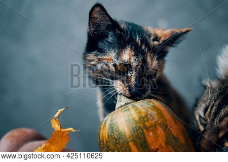 Cute Kitten Is Nibbling The Stem Of A Multicolored Pumpkin, Next To A Large Fluffy Cat Sniffing A Pu