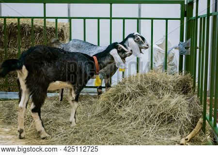 Group Of Little Pygmy Goats Eating Hay At Agricultural Animal Exhibition, Small Cattle Trade Show. F