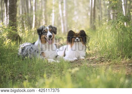 Portrait Of An Blue Merle Australian Shepherd Dog And Papillon Dog Lying In The Forest At Sunset In