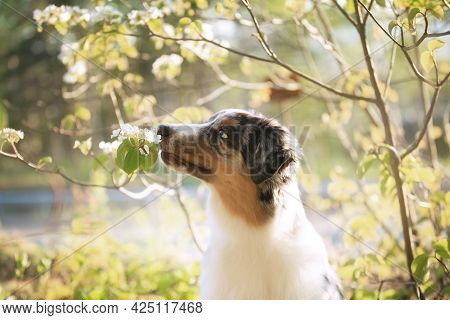 Portrait Of Adorable Australian Shepherd Dog Posing In The Forest On White Blooming Viburnum Bush Ba