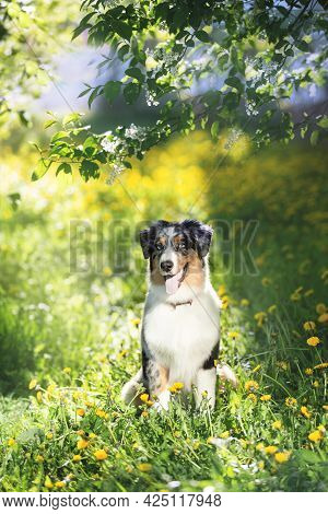 Portrait Of Adorable Australian Shepherd Dog Posing In The Park On Yellow Dandalion's And Green Tree