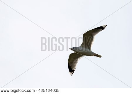 A Portrait Of A Isolated Single Seagull Flying Through A Bright White Sky. The Bird Part Of The Lari
