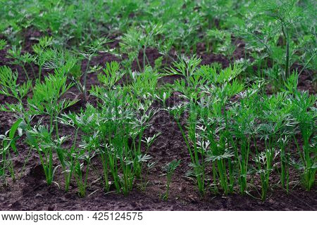 Rows Of Young Carrot Plants In The Selective Focus Of The Field. Carrot Growing Concept