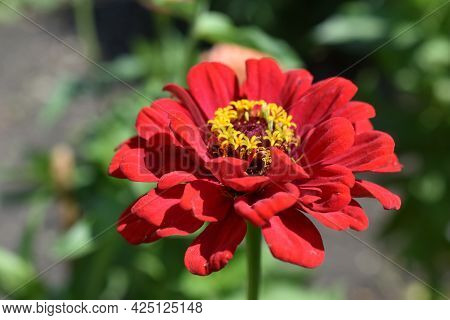 Colorful Red Yellow And Blue Flowers Of Zinnia Close Up