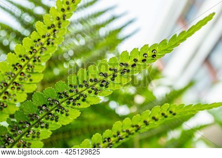 Sporangia On Fern. Groupes De Sporanges On Fern Leaves. Reproduction Of Olypodiopsida Or Polypodioph