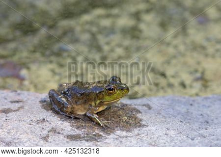 A Juvenile American Bullfrog (lithobates Catesbeianus) Rests On A Rock Beside A Pond. The Amphibian