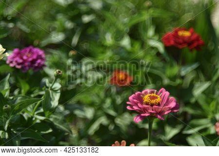 Tsinia Flowers In A Juicy Side In The Garden In Summer
