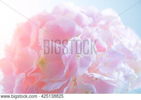 Hydrangea pink flower closeup. Beautiful soft colors Hortensia art design. Beauty pink colour Hydrangea flower close up. Watercolor nature floral backdrop. Easter, Birthday, Wedding design