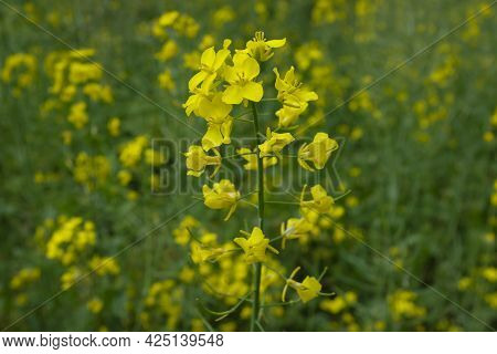 Blooming Rapeseed. Yellow Field Of Rapeseed Flowers.