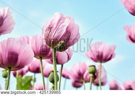 Closeup Of Purple Poppies Flowers. Poppy Field. Landscape Design Element