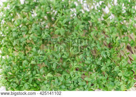 Microgreens In A Plastic Container, Homegrown Cress Salad, Horizontal, Closeup